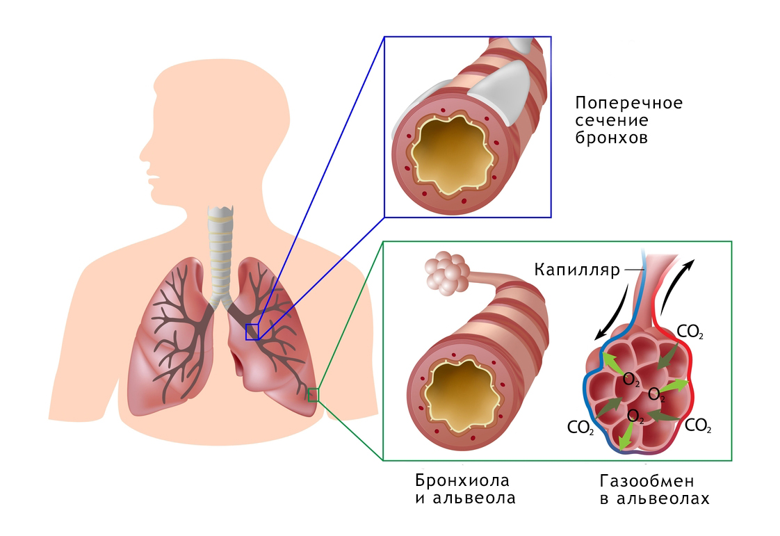 Система Дыхательная фото