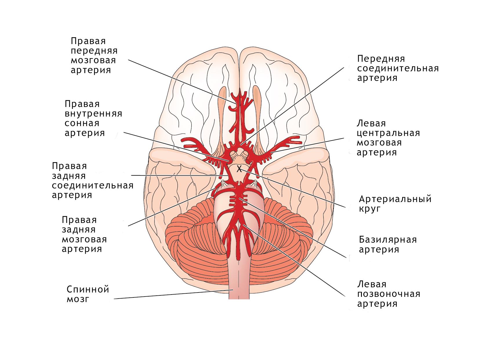 Артерии головы и шеи схема фото 196