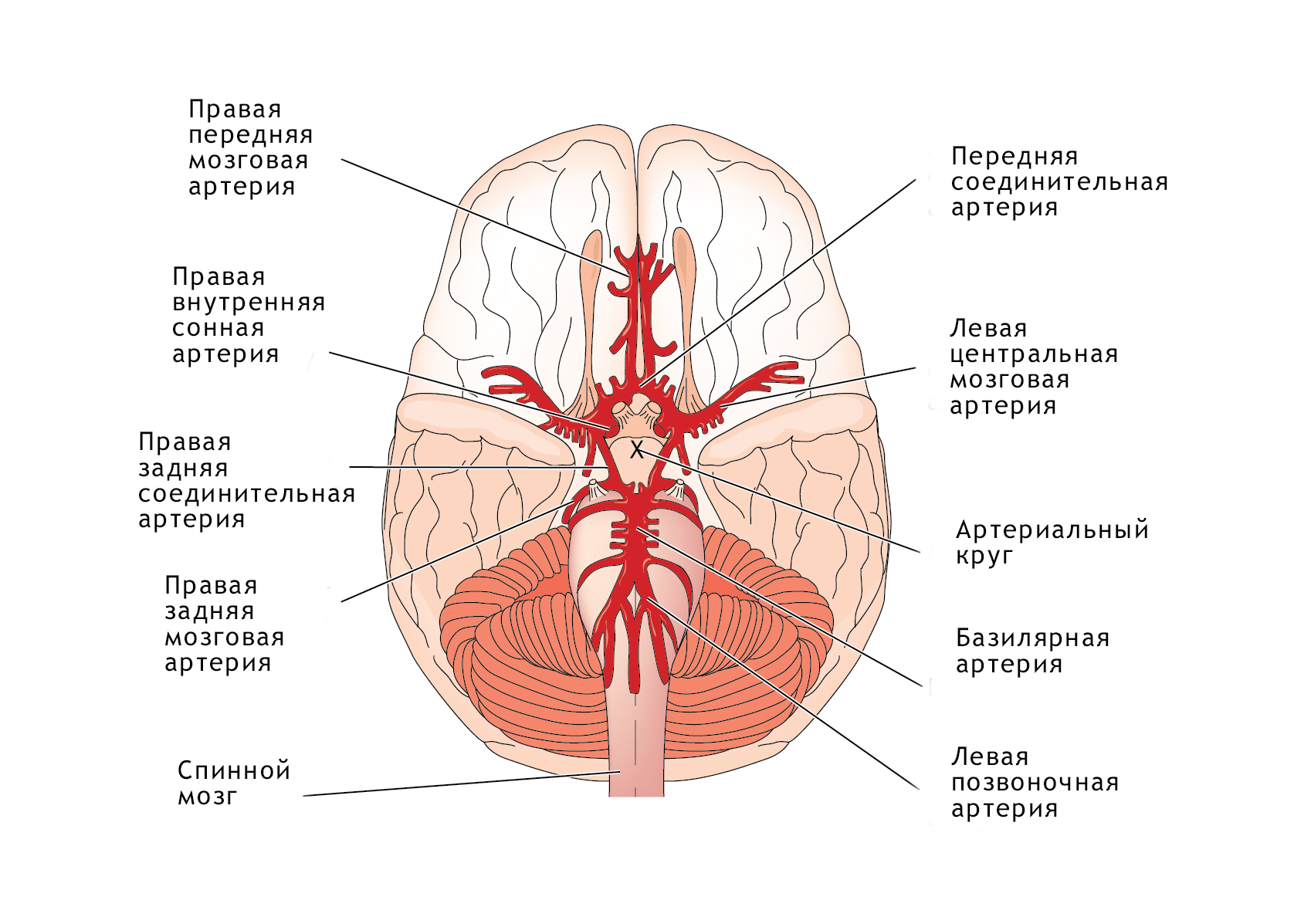 паразиты черви организме человека
