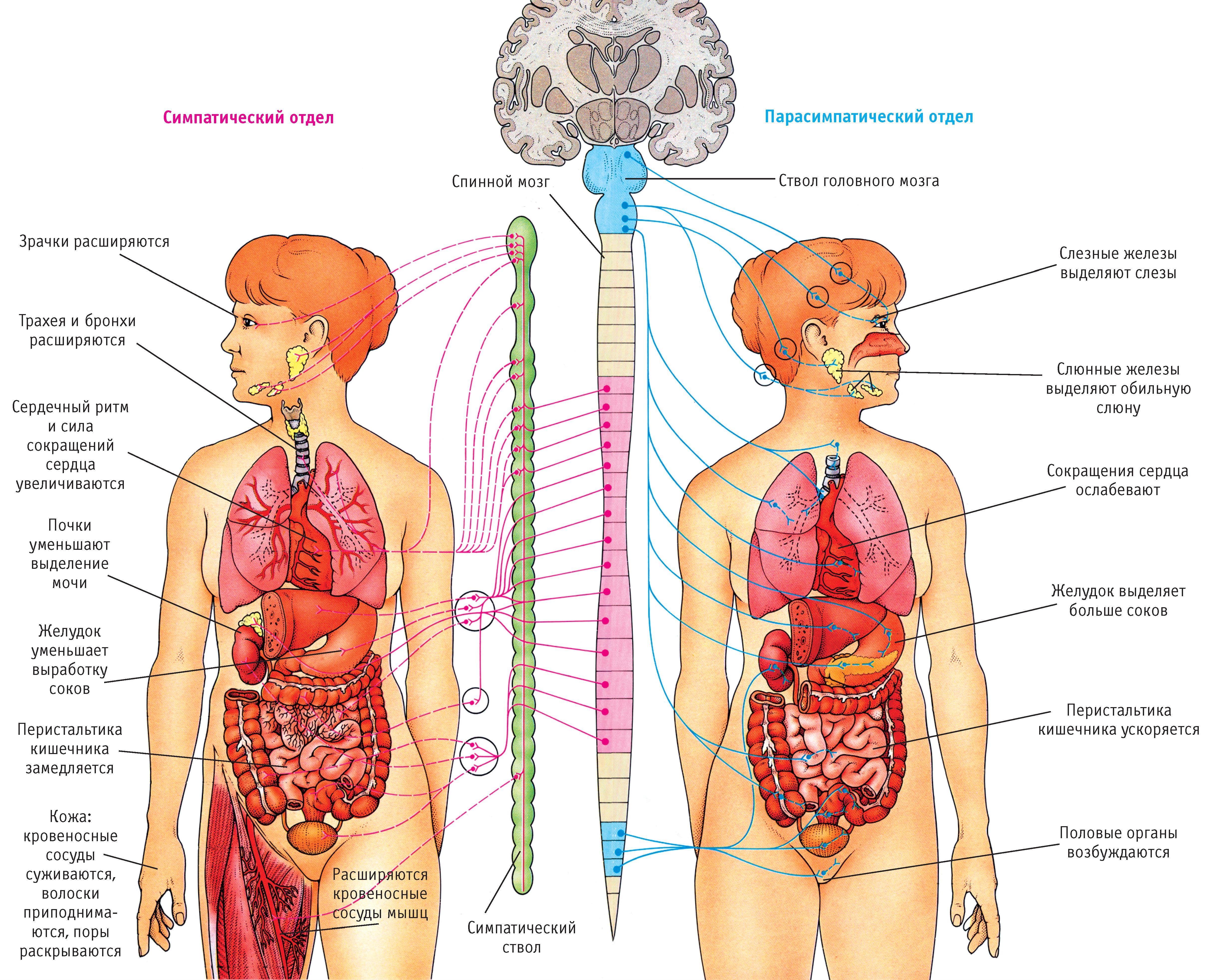 Внутренние органы женщины расположение в картинках