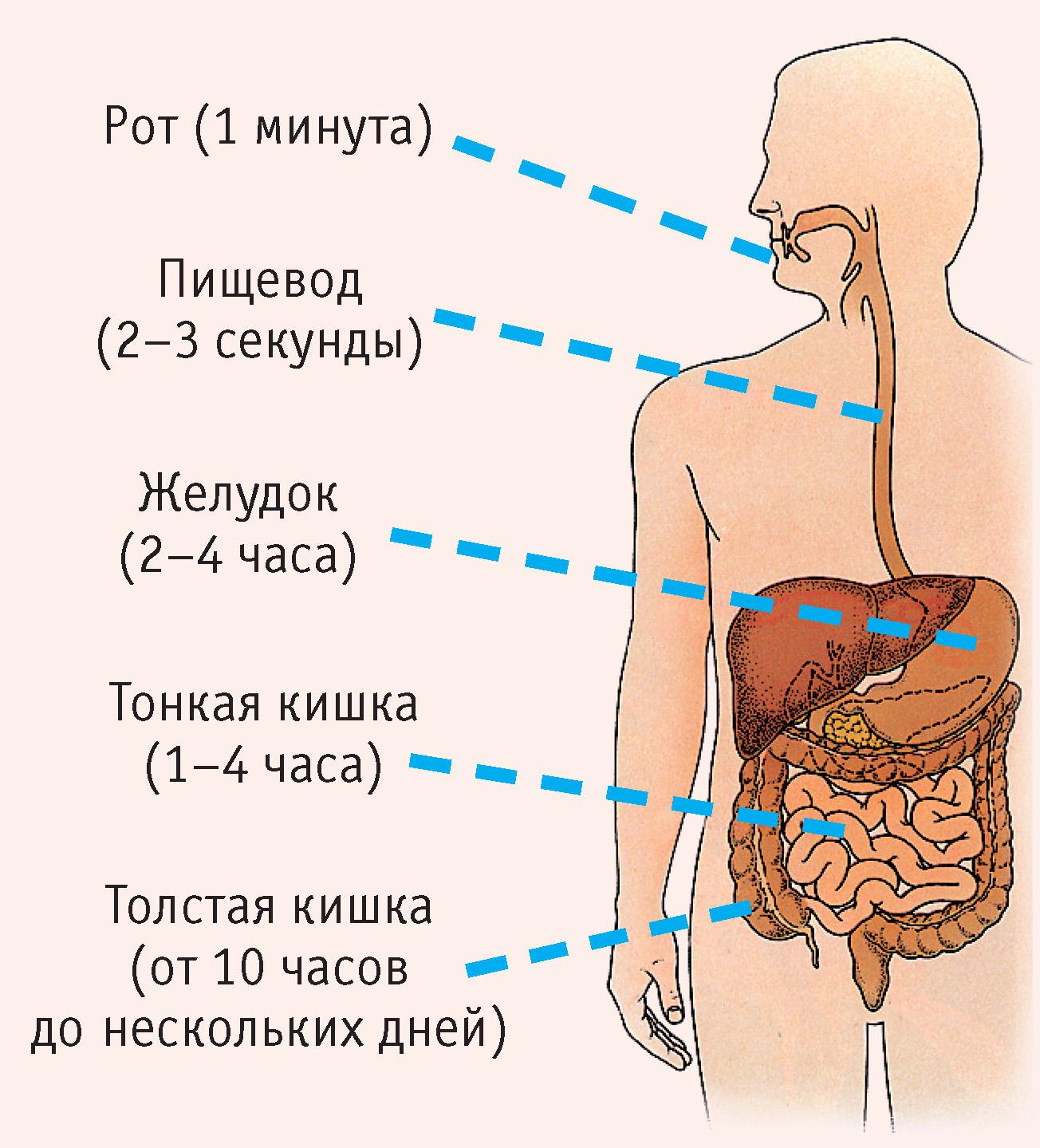 Рис. 1. Пищеварительный канал и продолжительность процесса отдельных стадий пищеварения:  рот (1 минута); пищевод (2–3 секунды); желудок (2–4 часа); тонкая кишка (1–4 часа); толстая кишка (от 10 часов до нескольких дней)