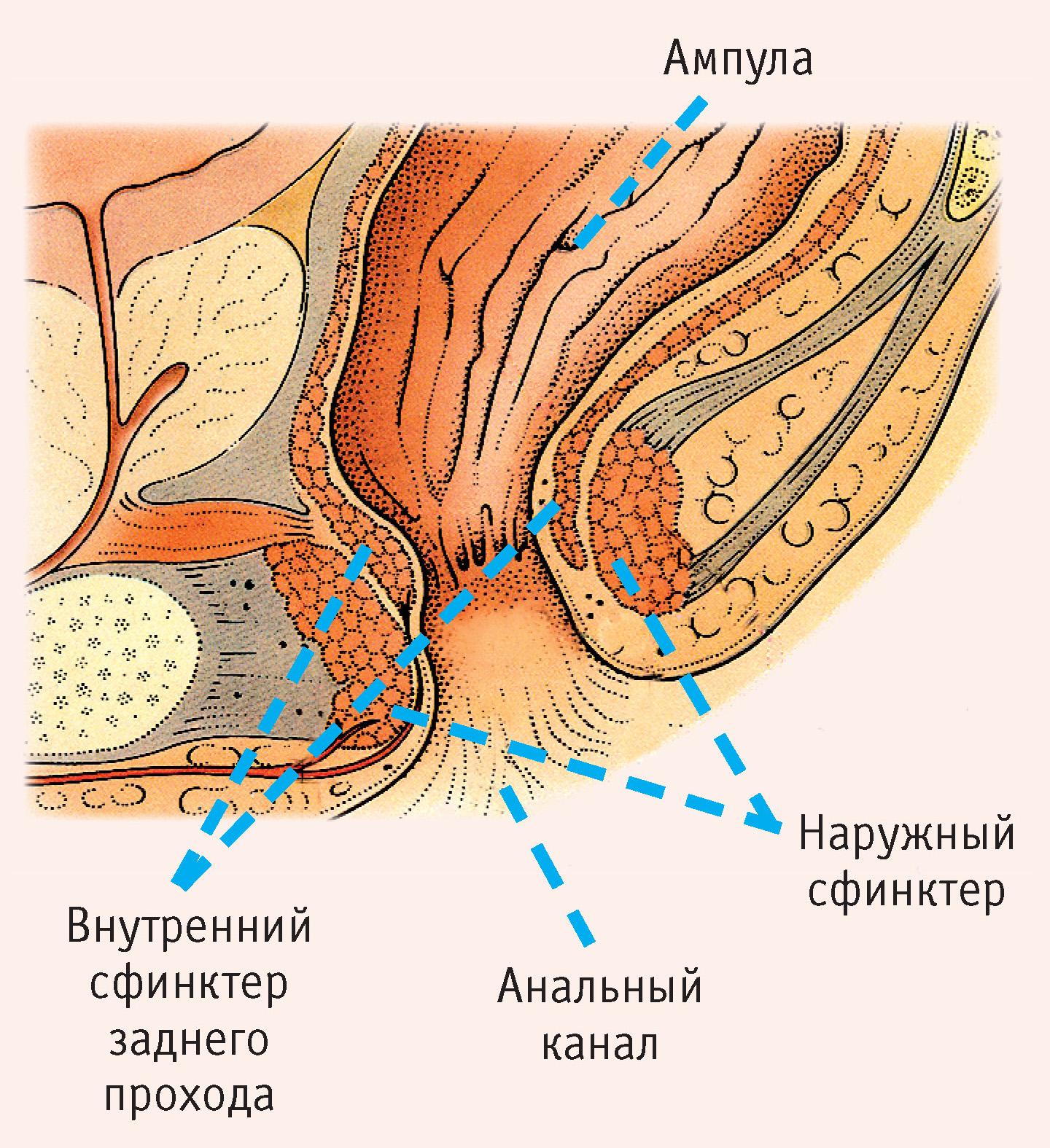 Анальный секс строение прямой кишки