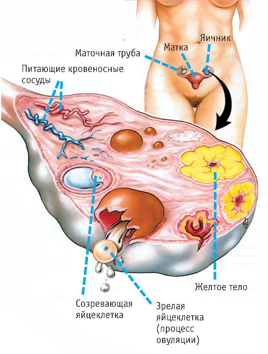 zhenskiy-organizm-vnutri