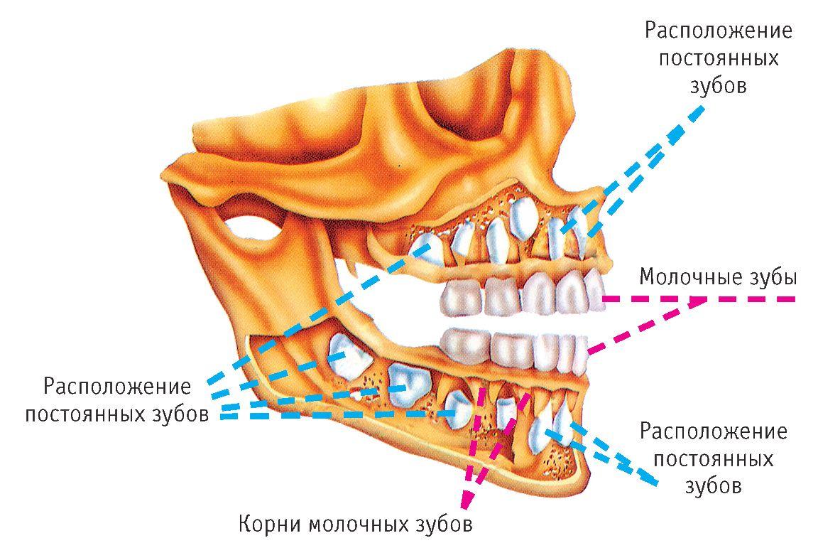 Зубы моляры