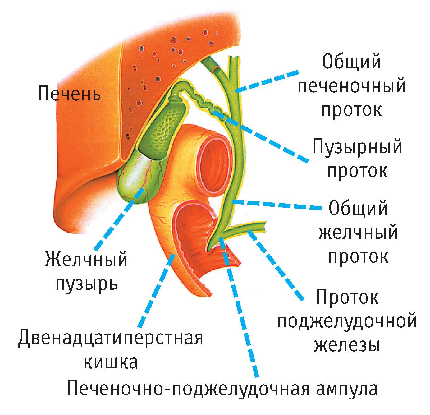 Заболевания печени и желчных путей