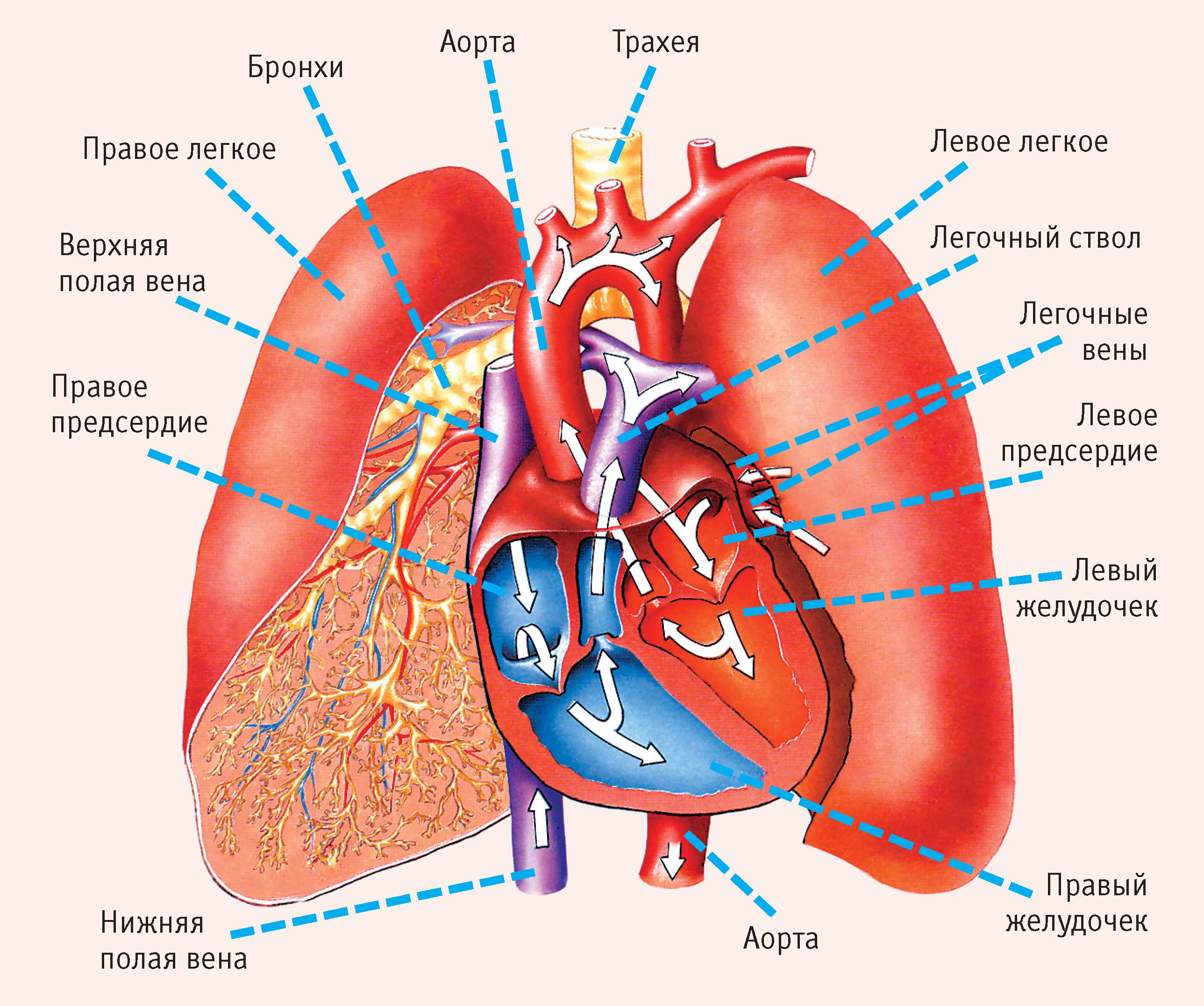 Кровообращение сердца человека схема фото 547