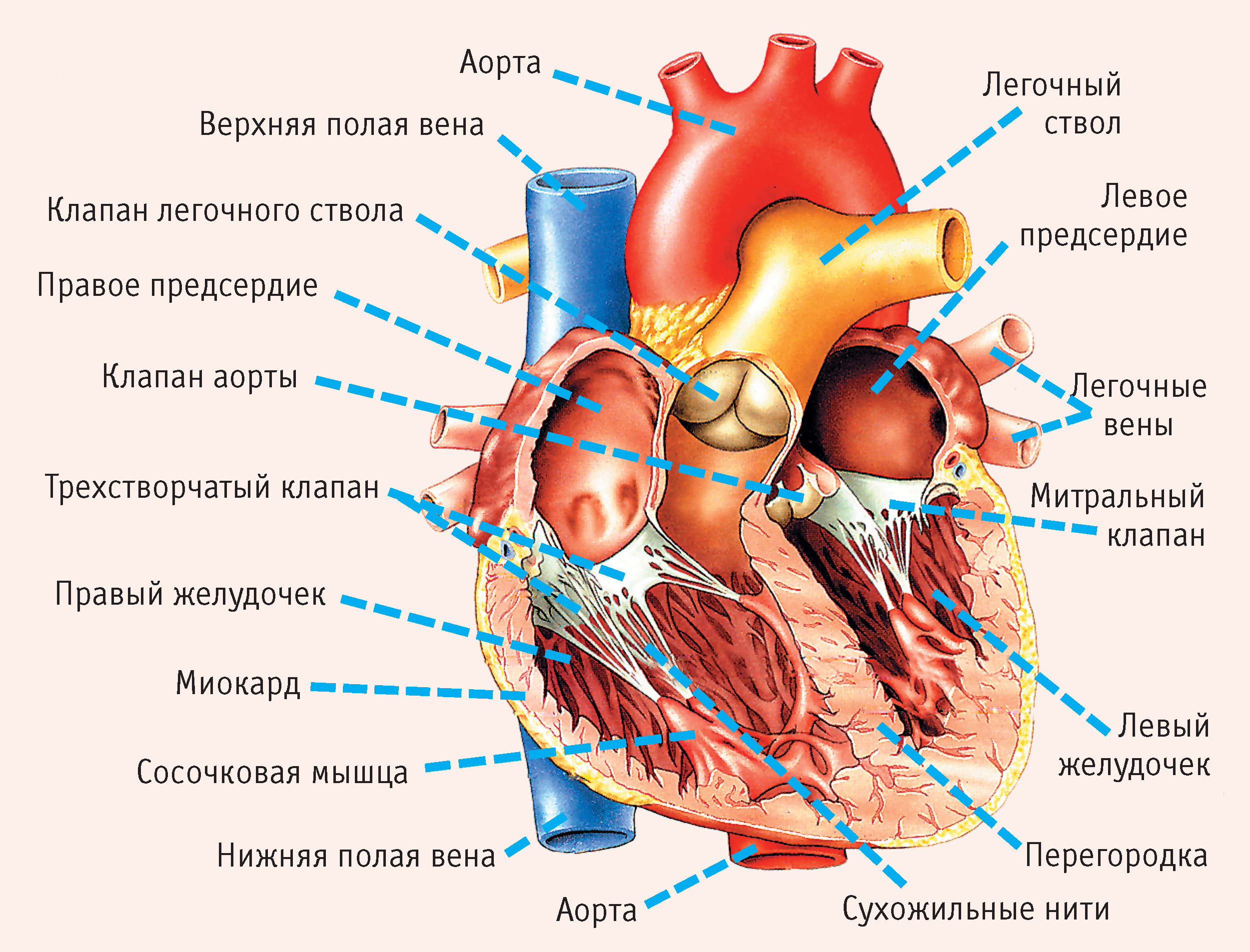 картинки сердца строение