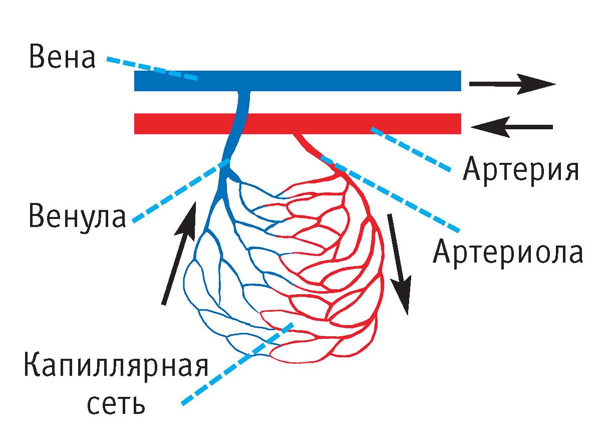 Сосуд Кровеносный